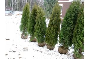 Зимняя посадка деревьев: возможна ли?